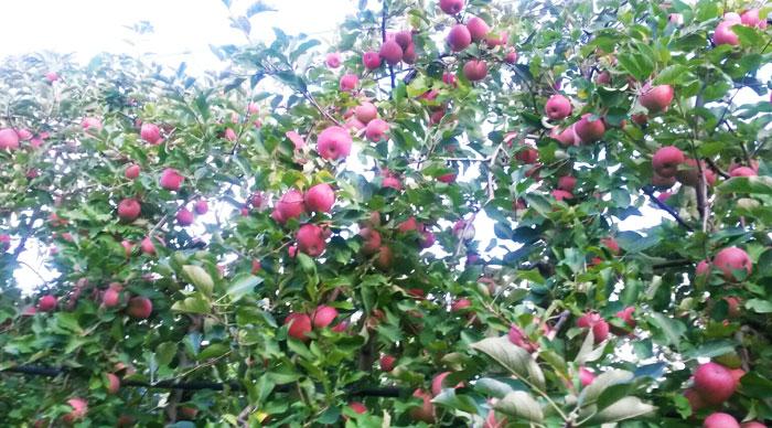 Trentini fruit 36 ettari di mele e pere italiane di - Mele fuji coltivazione ...